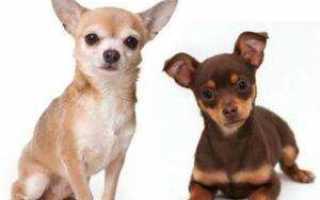 Отзывы владельцев о породе собак «чихуахуа»: описание характера питомцев и кого лучше выбрать